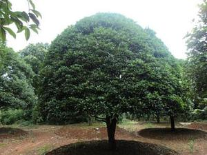 桂花村前身为桂花湾,并不盛产桂花树,盛产桂花树是很久以后的事情了。现在该村又添了新伴侣--莲荷种植。