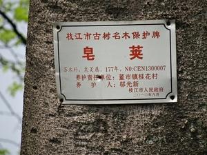 或许是有更多美丽的传说,2001年市政府对古皂角树实施挂牌保护
